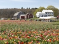 Tulip Farm, RI, courtesy Celinda